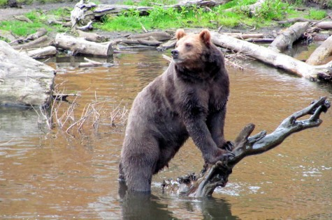 All Creatures: Brown Bear