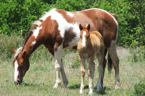 All Creatures: Paint Horses