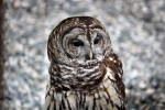 All Creatures: Barred Owl