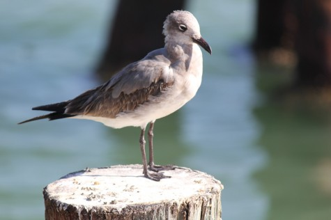 All Creatures: Seagull