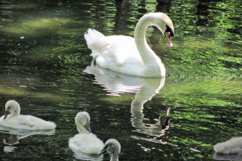 All Creatures: White Swans