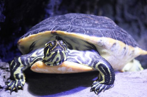 All Creatures: Yellow Belly Turtle