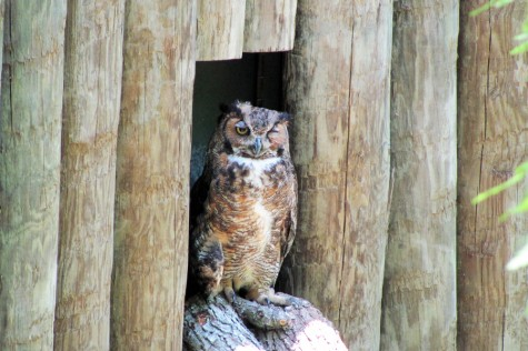All Creatures: Great Horned Owl